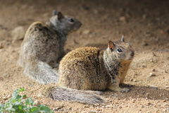 Two California Ground Squirrels Royalty Free Stock Images