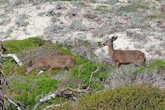Two California mule deer Odocoileus hemionus californicus at A. Two California mule deer Odocoileus hemionus californicus on sand dunes in the natural preserve Royalty Free Stock Photography