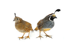Two California Quail Royalty Free Stock Photo