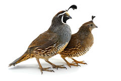 Two California Quail Stock Image
