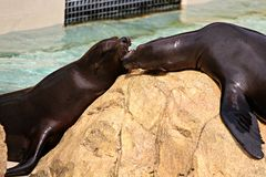 Two California Sea Lions fighting over a rock in a marine animal park. stock photography