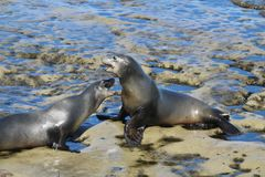 Two california sea lions fighting in LaJolla California. Two california sea lions fighting rocks at the beach  in LaJolla California Royalty Free Stock Images