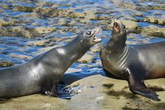 Two california sea lions fighting on the rocks in La Jolla. San Diego california Royalty Free Stock Image