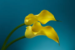 Two Calla Lily Flowers background. Two Yellow Calla Lily Flowers shot in studio on a blue background Royalty Free Stock Photo