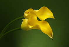 Two Calla Lily Flowers background. Two Yellow Calla Lily Flowers shot in studio on a green background Royalty Free Stock Image