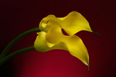 Two Calla Lily Flowers background. Two Yellow Calla Lily Flowers shot in studio on a red background Royalty Free Stock Images