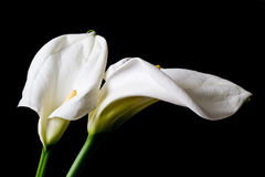 Two calla lily isolated Stock Photography