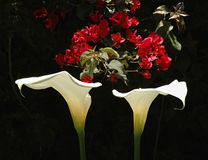 Two Callas. Two Calla Lillies with Bouganvilla in background stock photography