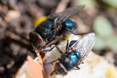 Two Calliphoridae something to eat on the ground Royalty Free Stock Image