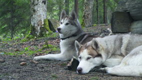 Two calm huskies in the spring forest. Slow motion stock video