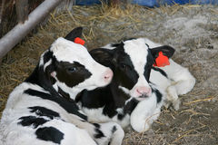 Two calves Royalty Free Stock Photo
