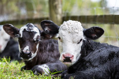 Two Calves Stock Image