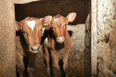 Two calves in cowshed. Two calves in the cowshed Royalty Free Stock Image