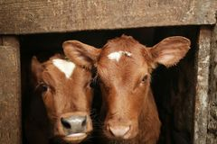 Two calves in cowshed. Closeup Stock Images
