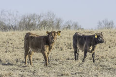Two calves in a dormant winter pasture Stock Image