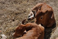 Two calves on the farm royalty free stock photo