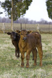 Two calves looking at camera Stock Photography