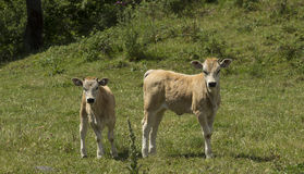 Two calves looking at us Royalty Free Stock Image