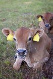 Two calves ly in grass of meadow Stock Photo