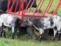 Two calves near a farm feed wagon in a field Royalty Free Stock Photos