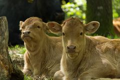 Two calves Royalty Free Stock Photography