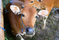 Two calves at rural farm Stock Images