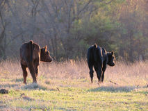 Two calves walking in spring pasture Stock Image