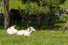 Two calves Royalty Free Stock Image
