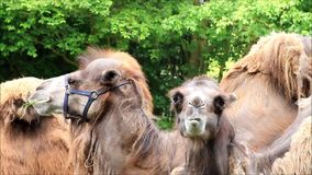 Two camel eating grass. Outside stock footage