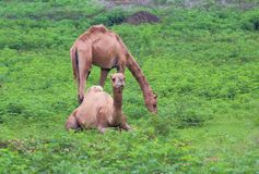 Camel in green field. Two camel in green grass field. one camel is sitting and the other is feeding. in India, this animal is called a ship of deserts. the more Stock Photos