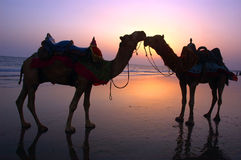 Two Camel at a seashore during dusk. Royalty Free Stock Image