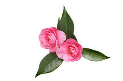 Two camellia flowers Stock Photography