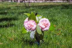 Two camellias Stock Images