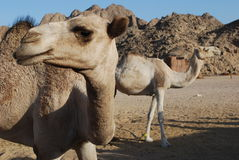 Two camels. In bedoin's village Royalty Free Stock Photo