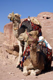 Two camels. In a harness against red rocks Stock Images