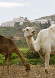 Two Camels. With Mojacar in Spain as a Backdrop Stock Images