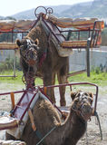 Two Camels. Sitting waiting for a ride Stock Images
