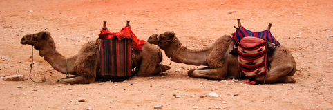 Two Camels. Mammels, transport, double royalty free stock photography