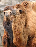 Two camels. With shaggy coats standing side by side stock photo