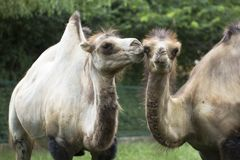 Two camels Stock Photography