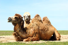 Two camels Stock Image