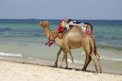 Two camels Stock Images
