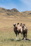 Two camels on the background of sand, steppes Stock Photos