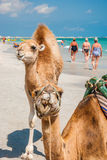 Two Camels on the Beach Royalty Free Stock Images