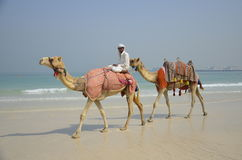 Two camels on the beach in Dubai Royalty Free Stock Photos