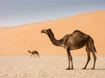 Two camels. Below a dune royalty free stock photo