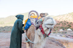 Two camels with berber man owner prepare for long journey. Stock Photos