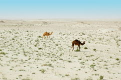 Two camels in the desert. Two camels in the Qatari desert Stock Image