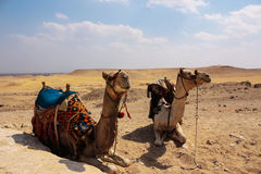 Two camels in the desert. Egypt.  Stock Photos