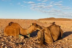 Two camels in desert. Camels lie on stones in the Sahara desert, Morocco royalty free stock image